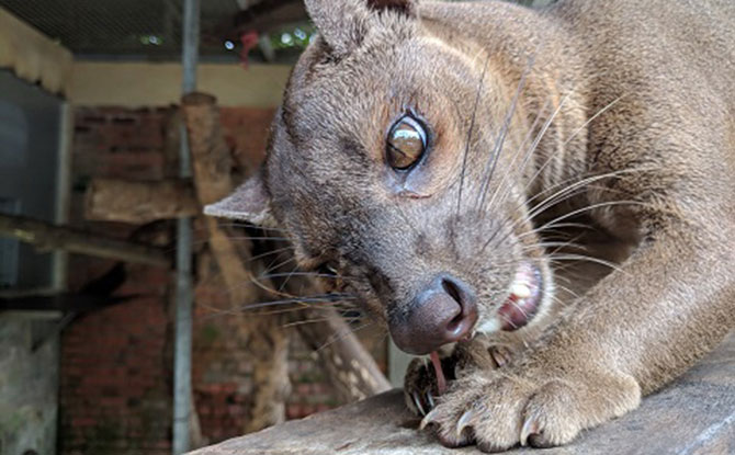 Kabibi, Singapore Zoo's five-year-old female fossa, eating in her den.