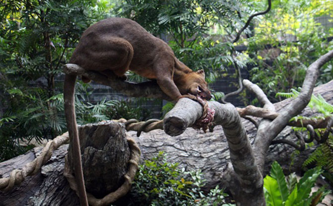 Varus, Singapore Zoo's nine-year-old male fossa.