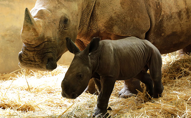 White Rhinoceros baby Maha at just a day old with mother Shova in August 2018. Maha is baby number 23 in white rhinoceros births in Singapore Zoo. Image: Wildlife Reserves Singapore.