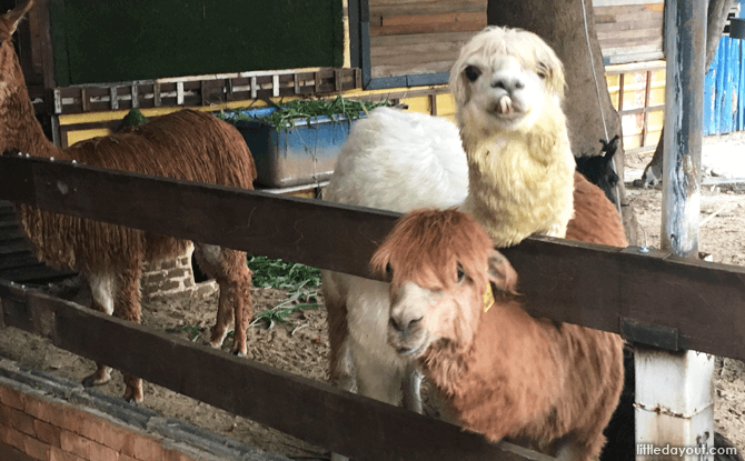 Alpacas at Alpaca View