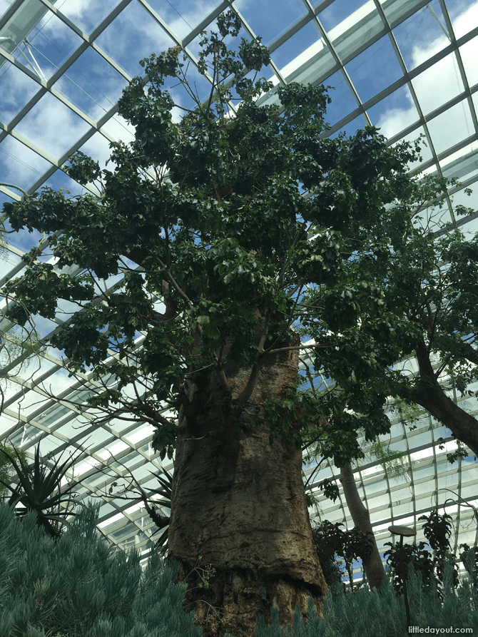 Baobab Tree, Gardens by the Bay Flower Dome