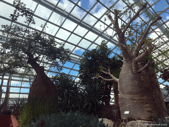 Baobab and Bottle Trees, Gardens by the Bay Flower Dome