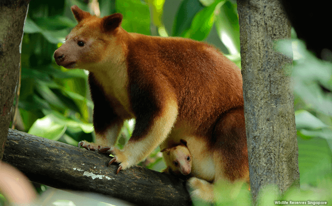Yet to be named, the female joey sits comfortably in the safety of mom Blue's pouch as she takes in her new surroundings. Visitors can soon view the pair at the outdoor exhibit of Singapore Zoo's Australasian zone.
