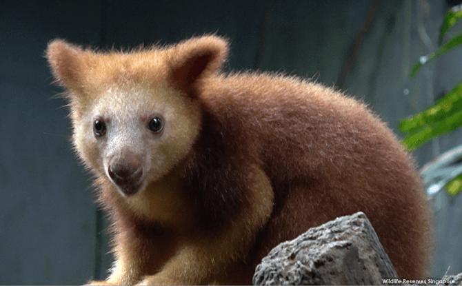 Singapore Zoo's Goodfellow Tree Kangaroo Joey