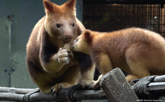 Tree Kangaroo Joey at Singapore Zoo