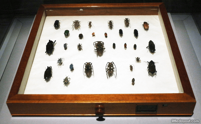 Specimens of beetles collected by Alfred Wallace