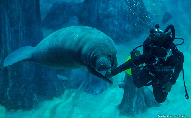Canola's favourite aquarist, Doris Su, leading the birthday girl by her right flipper to the specially constructed cabbage cake. Canola has grown to be an affectionate manatee, often asking aquarists for belly rubs by turning belly up.