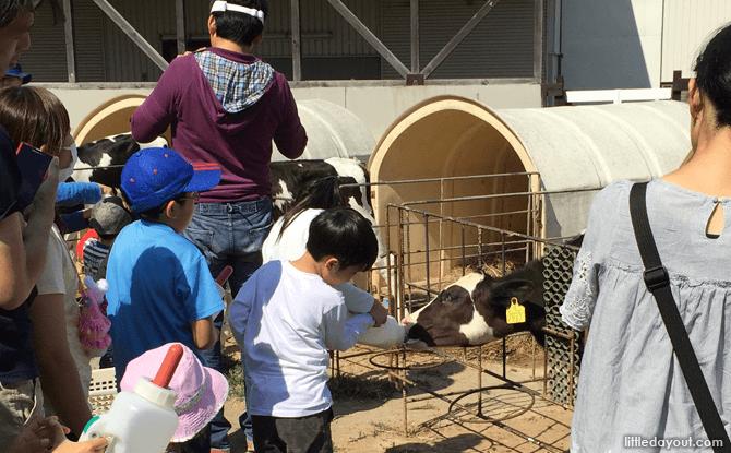 Feeding the cows at Sapporo Satoland