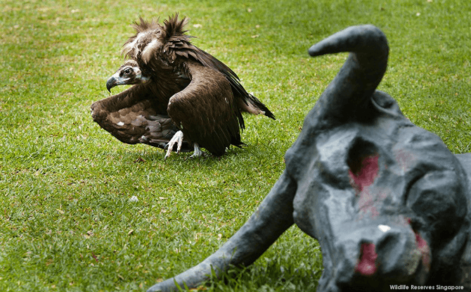 The Cinereous vulture is one of the heaviest birds of prey in the world, capable of reaching up to 10 kg.