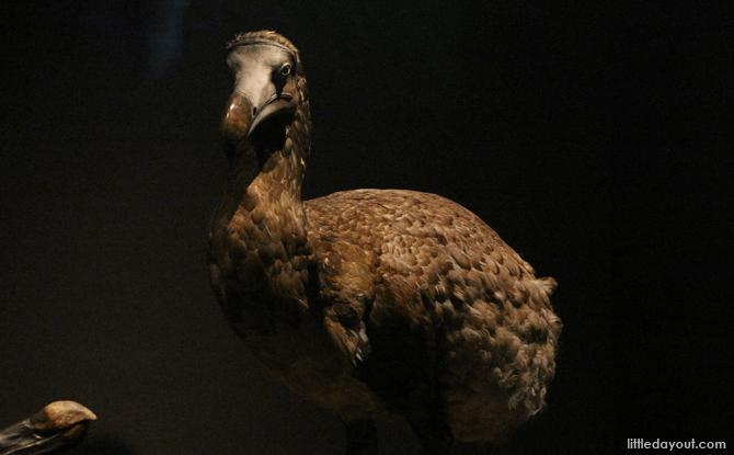 A model of a Dodo