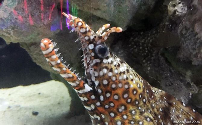Dragon-headed Eel