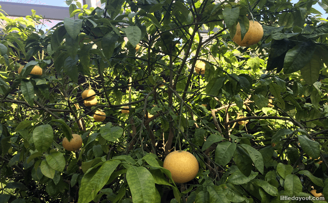 Grapefruit at the Californian Garden, Flower Dome