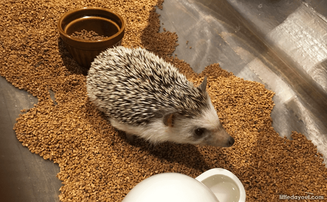 Hedgehog Cafe Harry, Harajuku, Tokyo, Japan