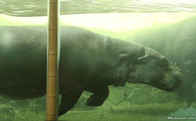 Singapore Zoo's Pygmy Hippo