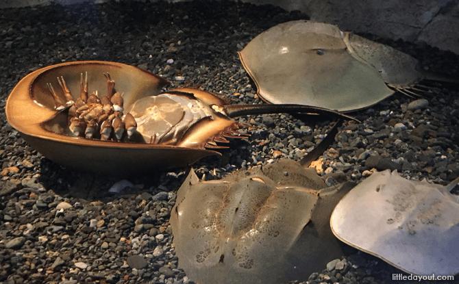 Horseshoe crabs, Otaru Aquarium