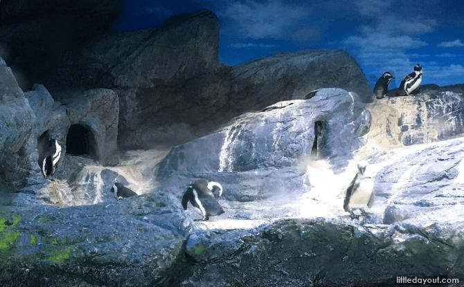Jackass Penguins at SEA LIFE Bangkok Ocean World