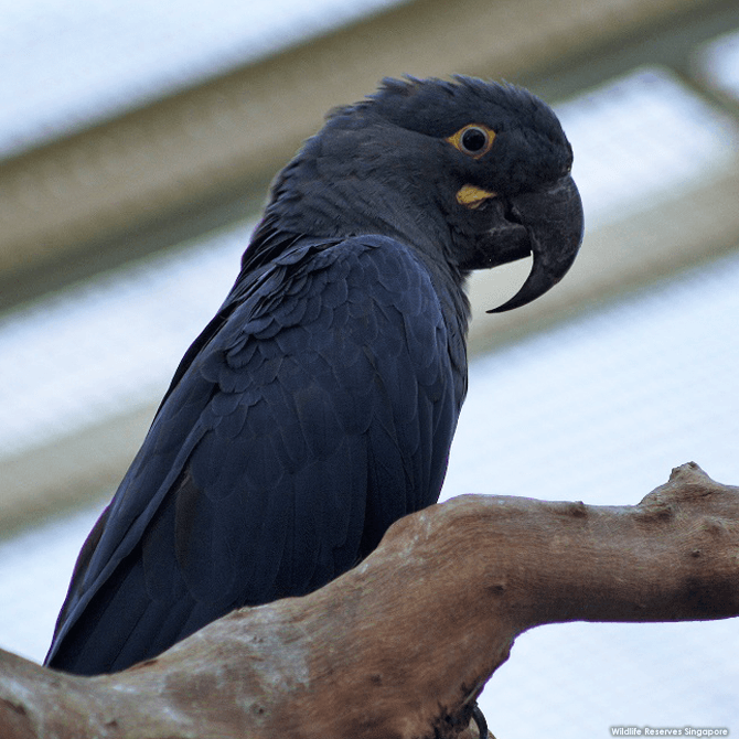 The endangered Lear's macaw has a bright yellow eye ring and green-tinged cobolt blue plumage.