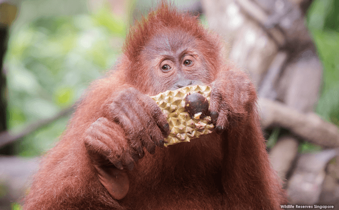Singapore Zoo Celebrates Its 44th Birthday