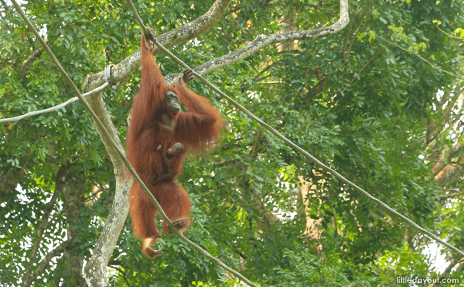 Orangutans at Singapore Zoo