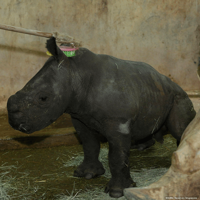 Baby rhino being brushed.