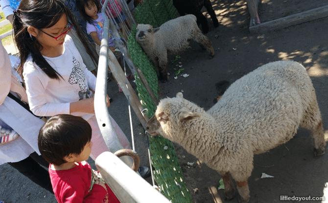 Encounter with sheep at Satoland