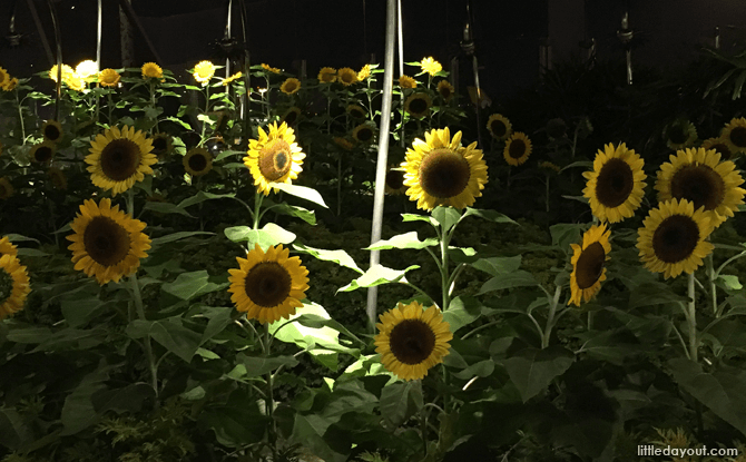 Sunflower Garden, Changi Airport