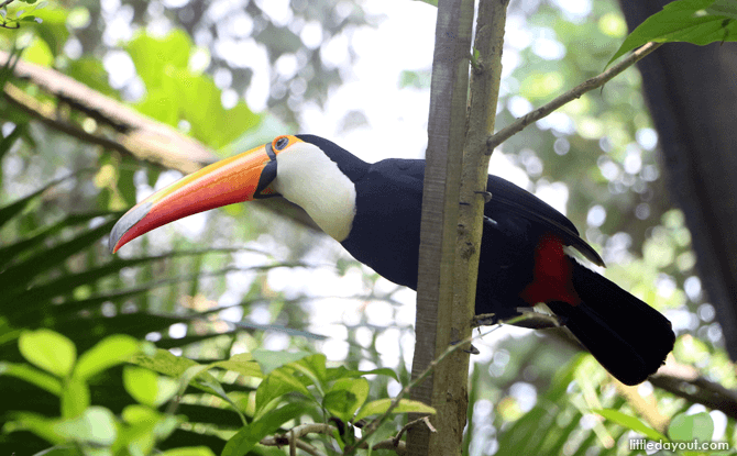 Toucan, Fragile Forest exhibit at the Singapore Zoo