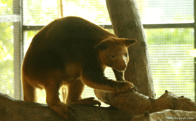 Goodfellow Tree Kangaroo