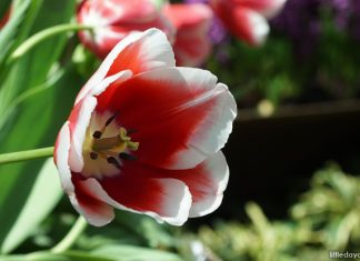 Tulipa 'Singapura': The Tulip Named After Singapore
