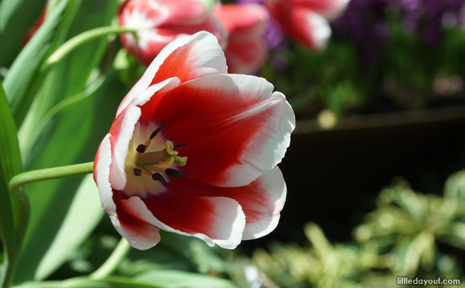 Tulipa 'Singapura': The Tulip Named After Singapore