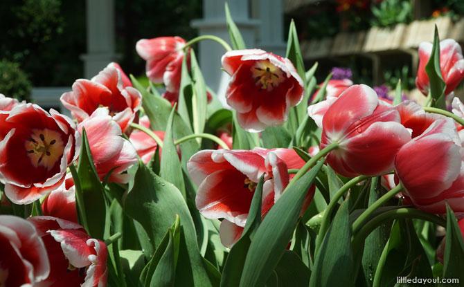 e tulip singapore 02
