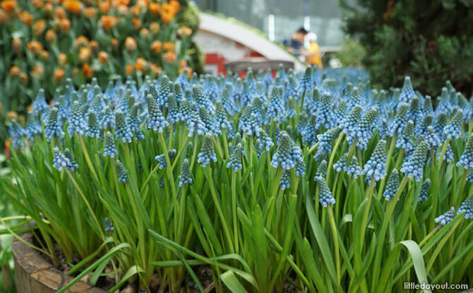 Grape hyacinth at Flower Dome