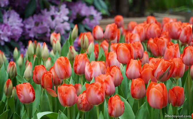 Tulips at the Flower Dome, 2018