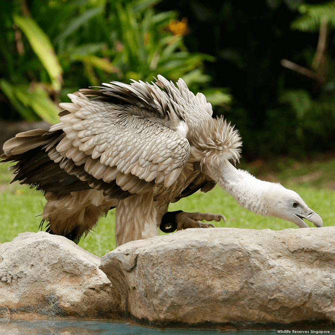 The Himalayan Griffon vulture can be identified by its pale brown feathers and creamy white body.