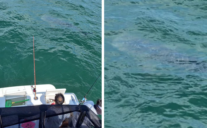 A Whale Shark In Singapore Waters?