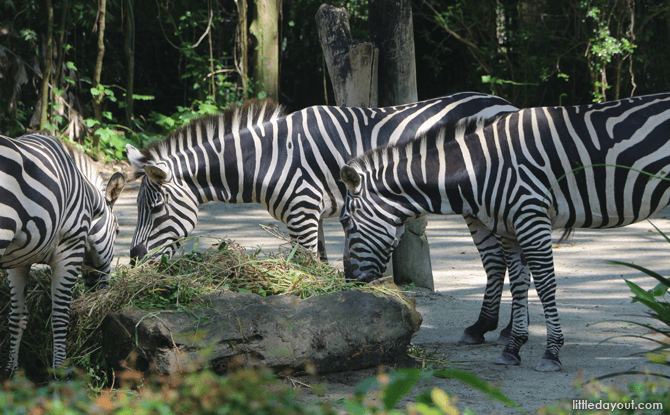 Zebras at Singapore Zoo