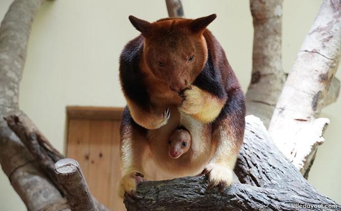Singapore Zoo Welcomes An Endangered Goodfellow's Tree Kangaroo Joey