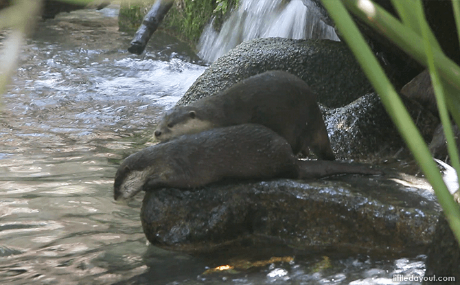 Otter Den at the Singapore Zoo