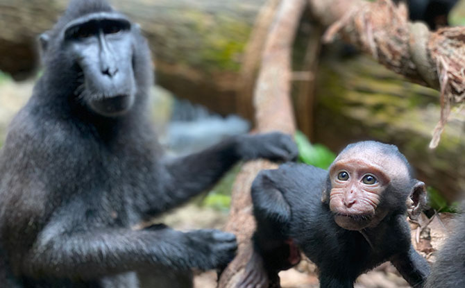 Singapore Zoo Welcomes Baby Joyo, A Critically Endangered Celebes Crested Macque