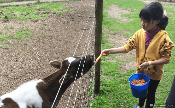 Feeding a calf at the farm