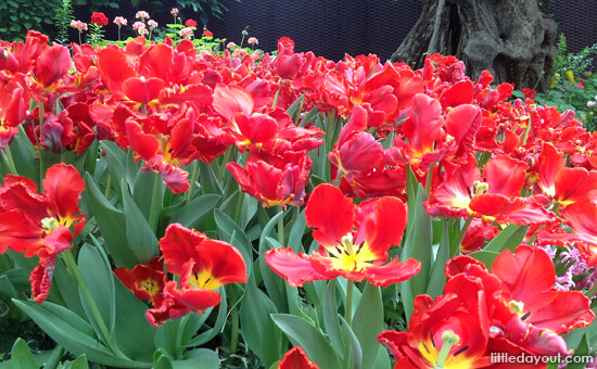 Tulipmani Red