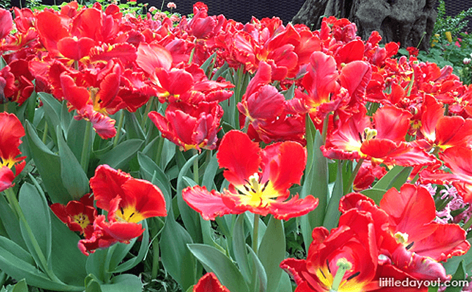 Red Tulips in the Flower Field - Tulipmania 2017