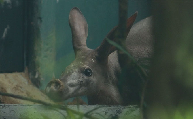 Night Safari's First Aardvark - Alika