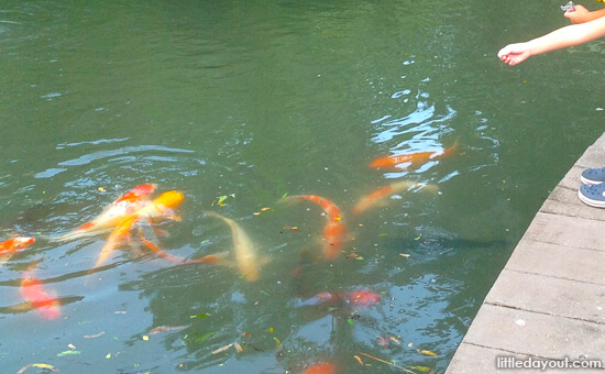 Fish Feeding at Singapore Botanic Gardens