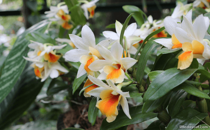 Dendrobium Frost Dawn