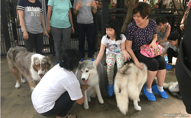 Interacting with the huskies at True Love @ Neverland Cafe, Bangkok