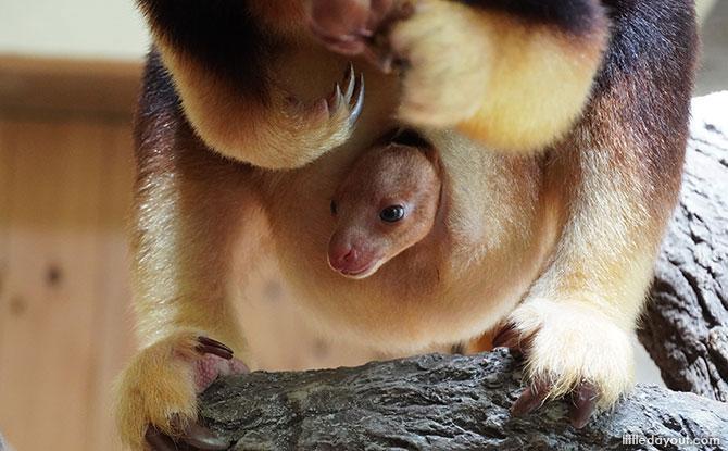 Singapore Zoo's Goodfellow's Tree Kangaroo Joey