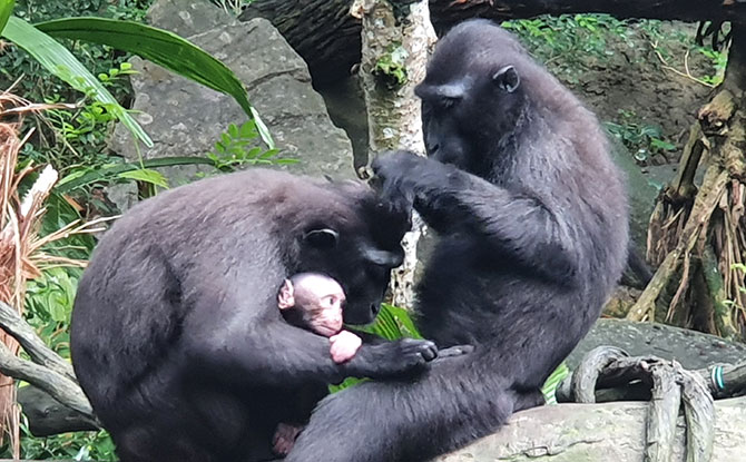 Singapore Zoo's Celebes Crested Macaque Conservation Efforts