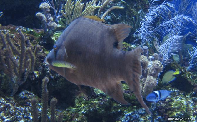 Rooster Hogfish at S.E.A. Aquarium