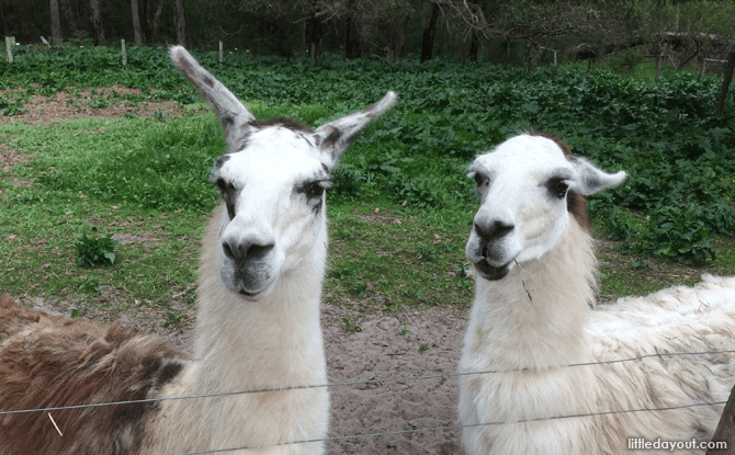 Llamas at Sunflower Animal Farm